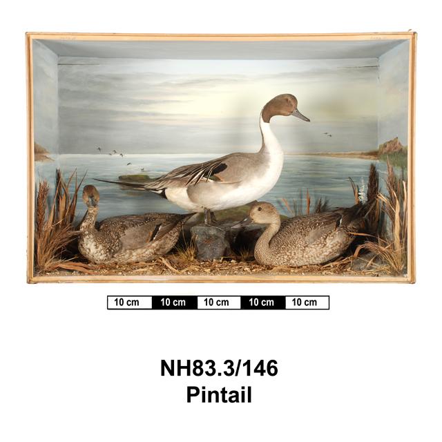 Northern Pintail (Anas acuta)