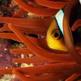 An Orange Fin Anemonefish (Amphiprion chrysopterus)