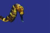 A Yellow Seahorse (Hippocampus kuda)