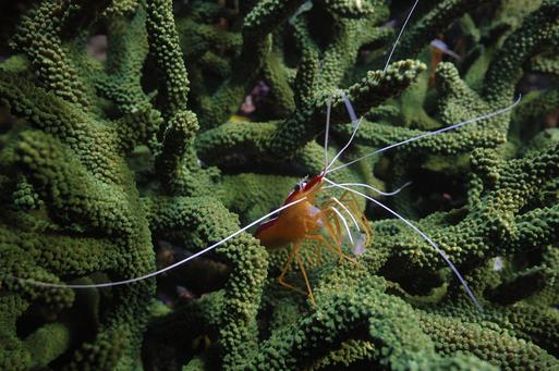 A Pacific Cleaner Shrimp (Lysmata ambionensis)