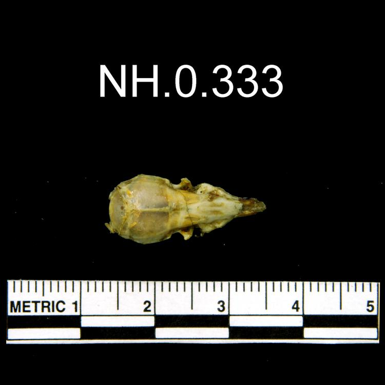 Dorsal view of object no. NH.0.333.