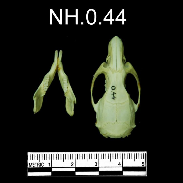 Dorsal view of object no. NH.0.44.