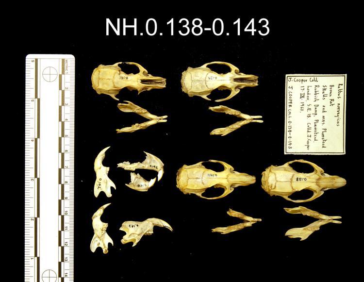 Brown Rat (Rattus norvegicus)