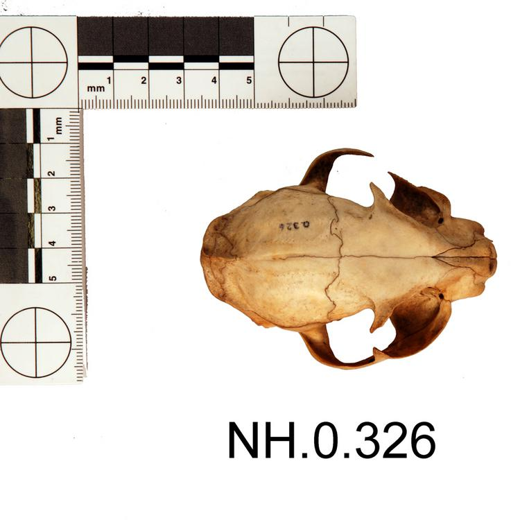 Dorsal view of object no. NH.0.326.
