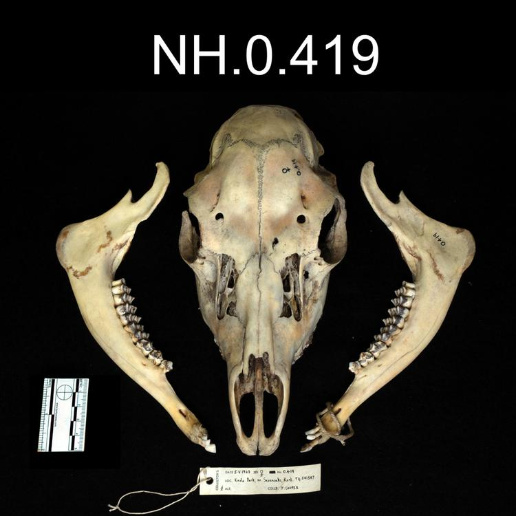 Dorsal view of object no. NH.0.419.
