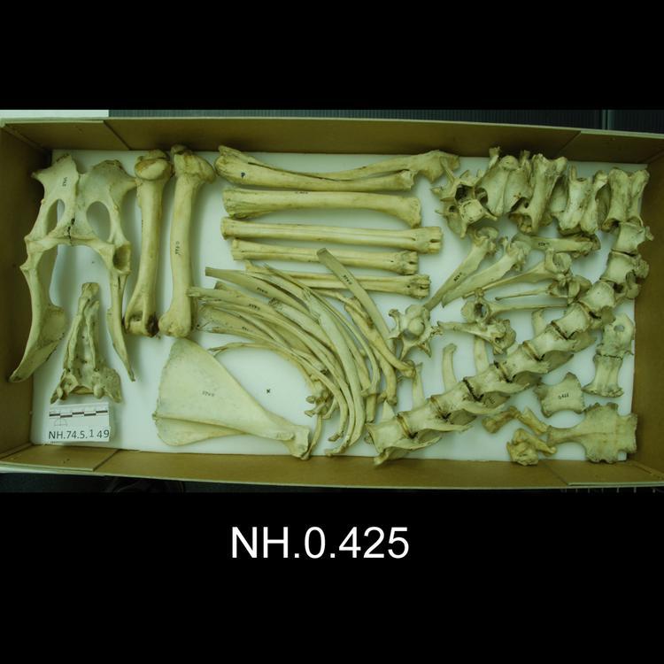 European (Western) Roe Deer (Capreolus capreolus)