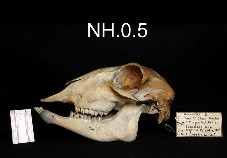 Lateral view from left of object no. NH.0.5.