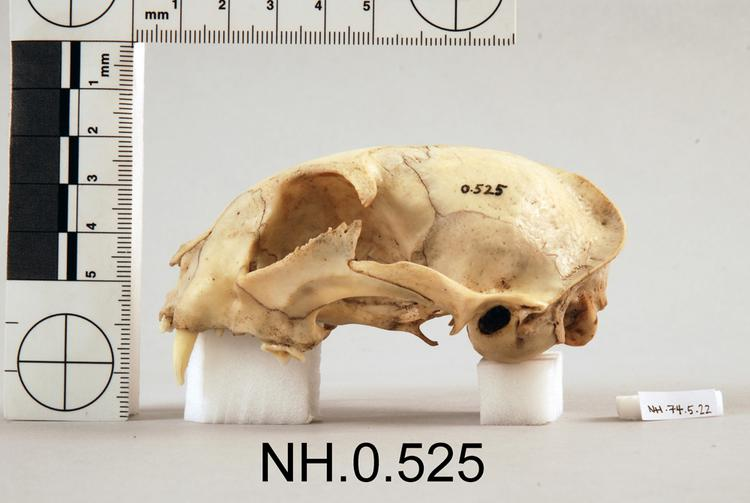 Lateral view from left of object no. NH.0.525.