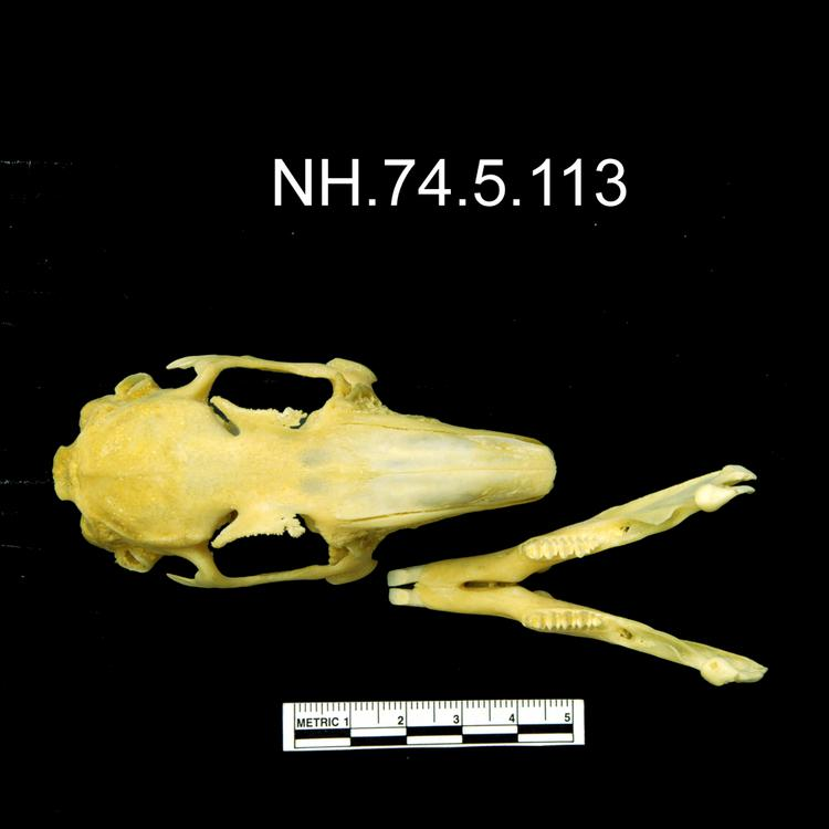 Dorsal view of object no. NH.74.5.113.