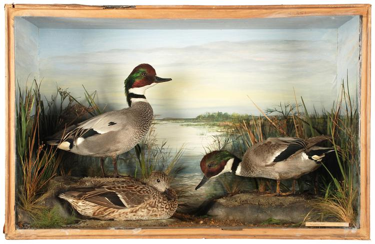Falcated Duck (Anas falcata)