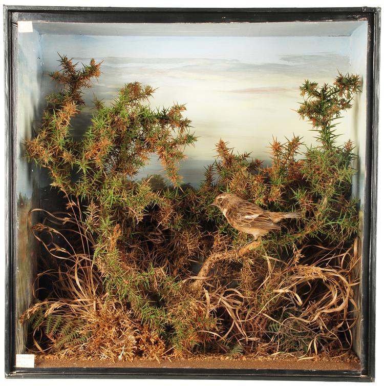 Common Stonechat (Saxicola torquatus)