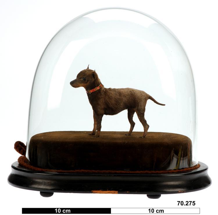 Dog - miniature dog (Canis lupus familiaris)