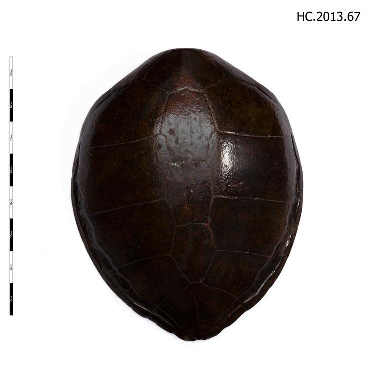 Green Sea Turtle (Chelonia)