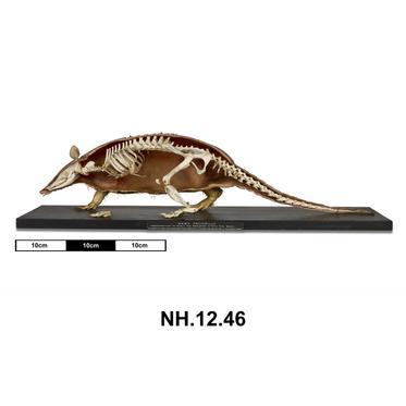 NH.12.46 - Nine-banded Armadillo (Dasypus novemcinctus)