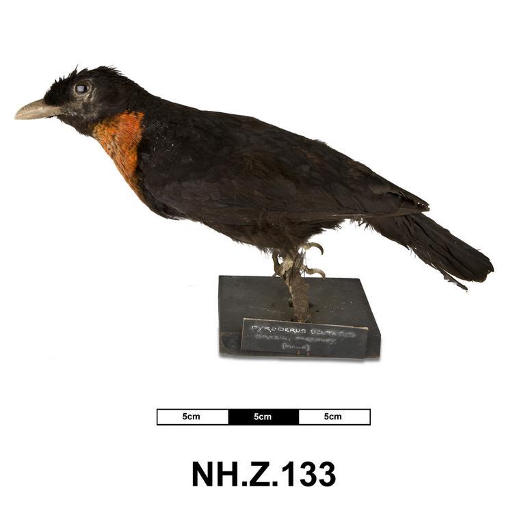 Red-ruffed Fruitcrow (Pyroderus scutatus)