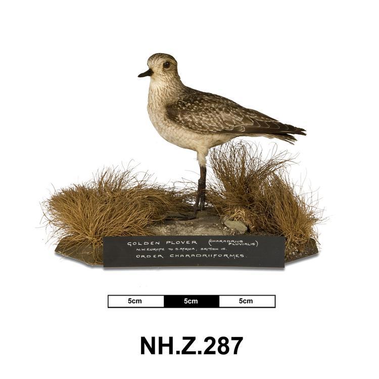 European Golden-plover (Pluvialis apricaria)