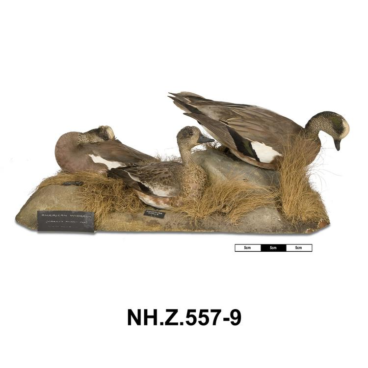 General view of whole of Horniman Museum object no NH.Z.557