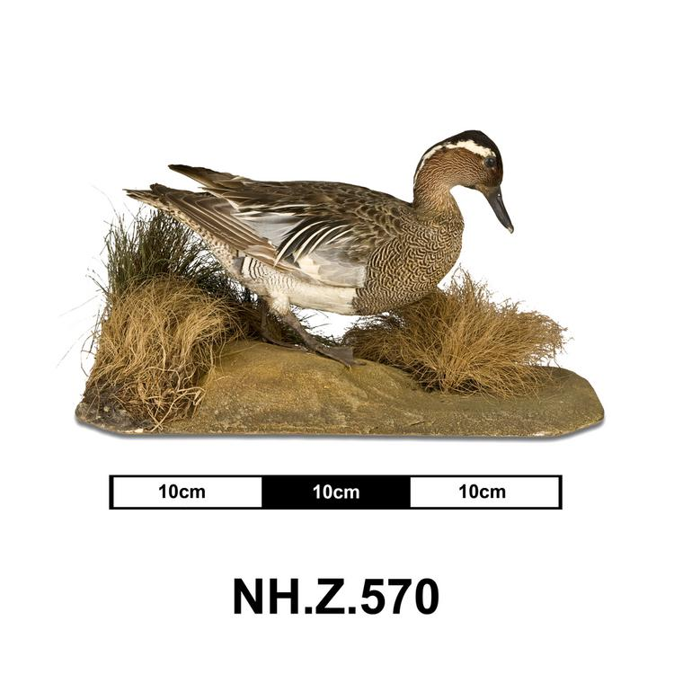 General view of whole of Horniman Museum object no NH.Z.570
