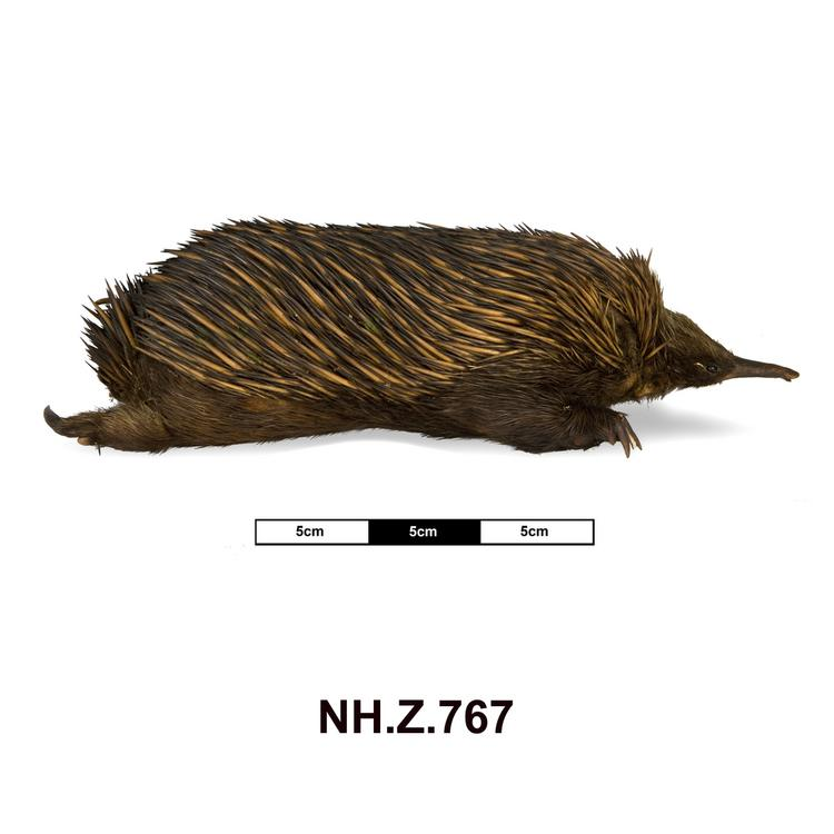 Lateral view from right of whole of Horniman Museum object no NH.Z.767