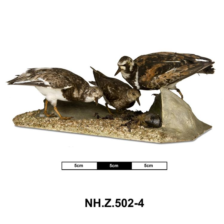 General view of whole of Horniman Museum object no NH.Z.504