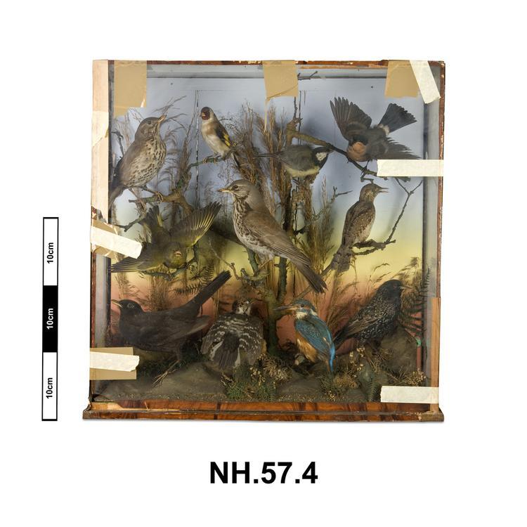 Eurasian BlackbirdFieldfare; Great Tit; European Goldfinch; European Kingfisher; Eurasian Bullfinch; European Greenfinch; Common Starling (Turdus pilaris)