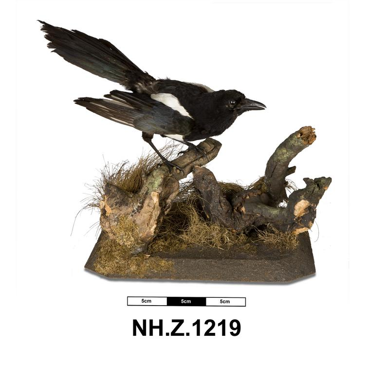 General view of whole of Horniman Museum object no NH.Z.1219