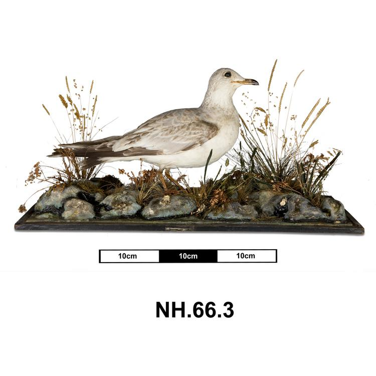 General view of whole of Horniman Museum object no NH.66.3