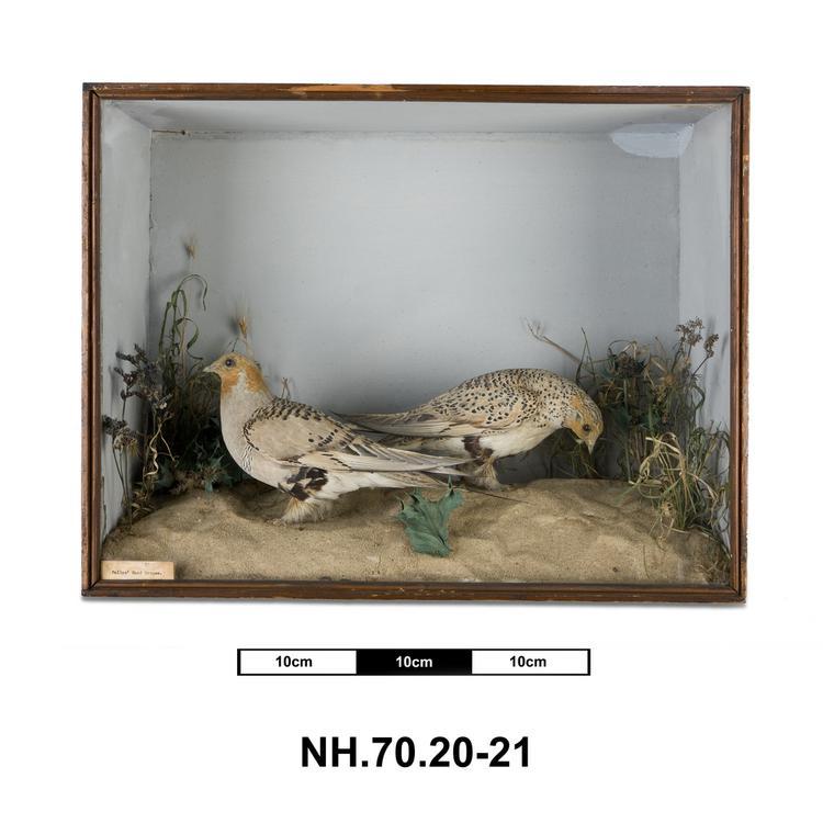 Pallas's Sandgrouse (Syrrhaptes paradoxus)