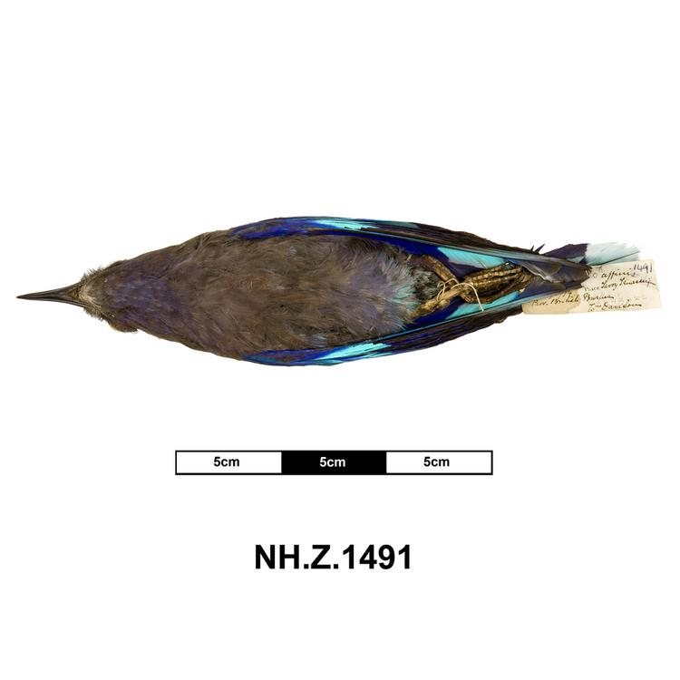 Ventral view of whole of Horniman Museum object no NH.Z.1491