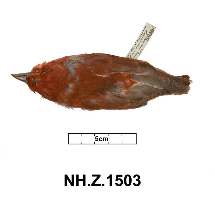 Dorsal view of whole of Horniman Museum object no NH.Z.1503