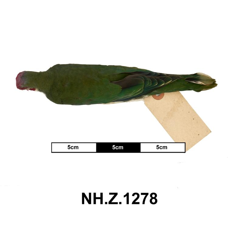 Dorsal view of whole of Horniman Museum object no NH.Z.1278