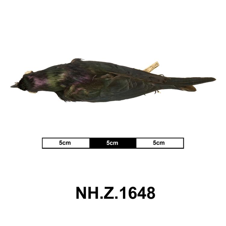 Dorsal view of whole of Horniman Museum object no NH.Z.1648