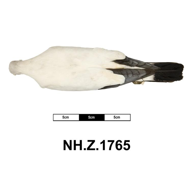 Dorsal view of whole of Horniman Museum object no NH.Z.1765