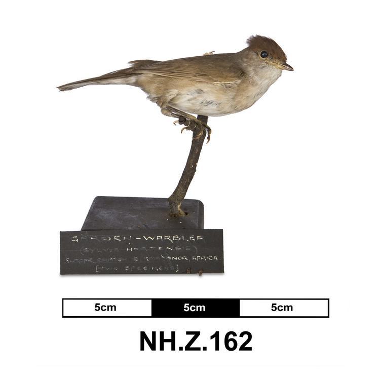 Western Orphean Warbler (Sylvia hortensis)