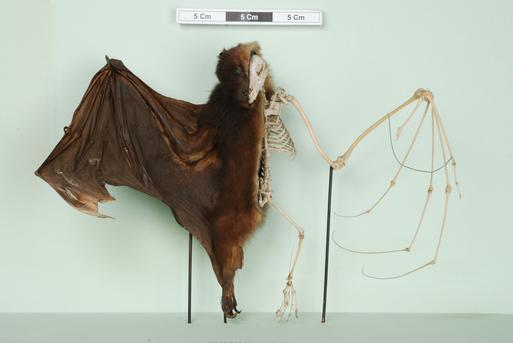 NH.24.41 - Flying Fox (Pteropus sp.)