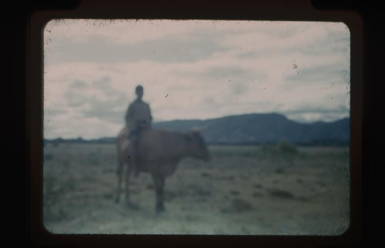 Colour slide of young man sitting on a bull