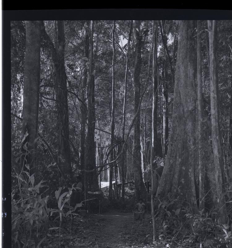 Black and white medium format negative of man surrounded by huge trees