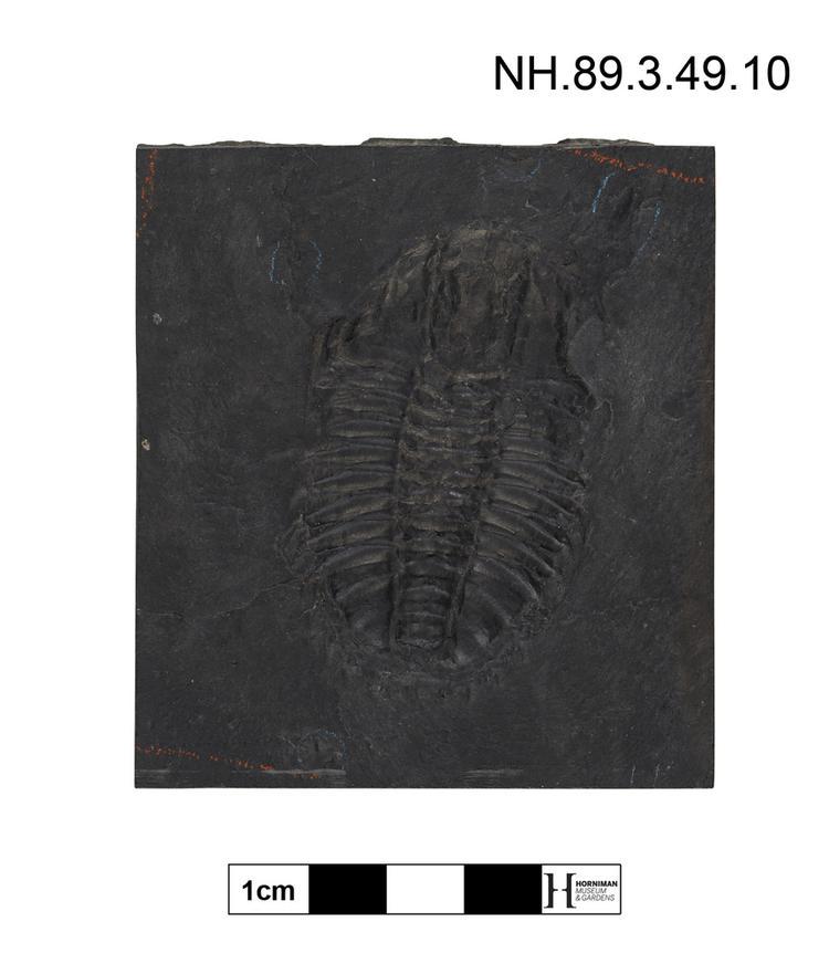 Trilobite (Neolenus)