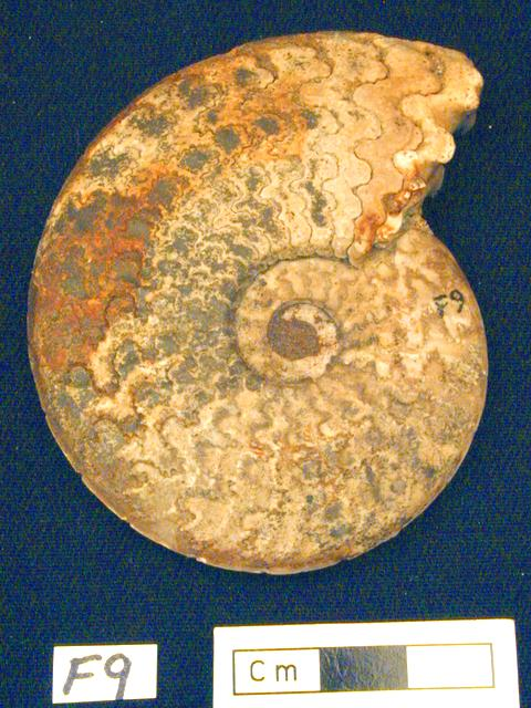 Ammonite (Oxynoticeras sp.)