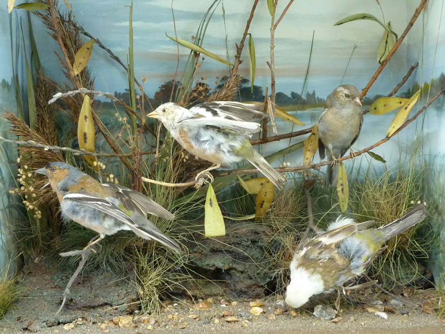 A group of taxidermy chaffinches