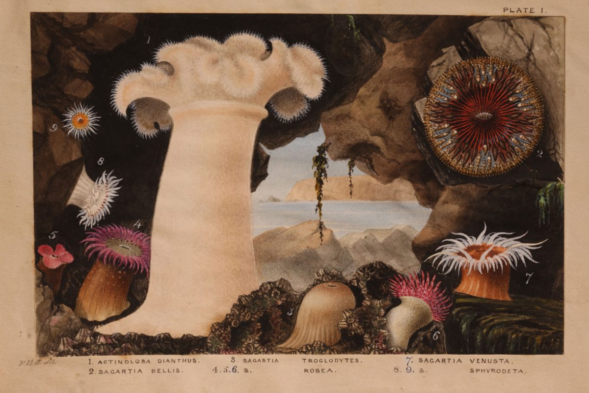 An illustration by Gosse of anemones