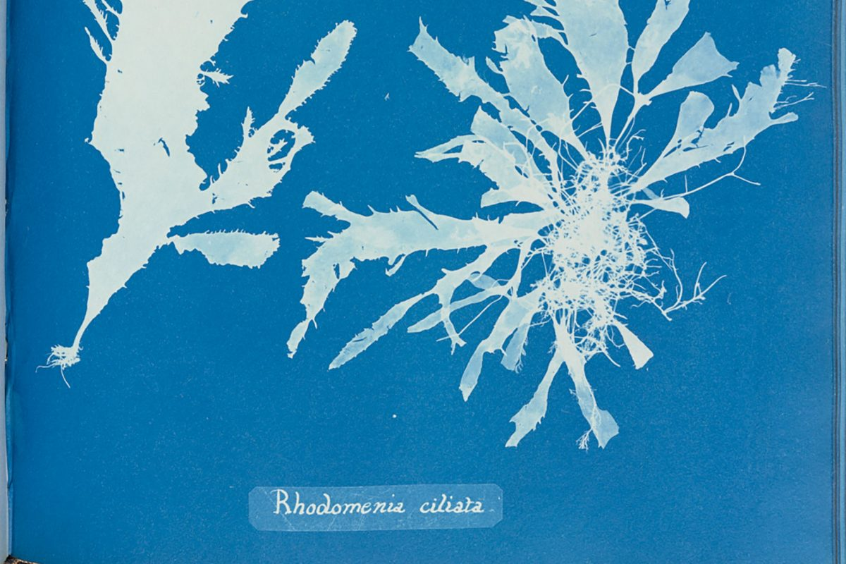 A close up of a page from a book, the page is blue with a relief white image of algae on it. It is a cyanotype, an early form of photography.