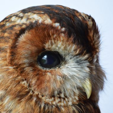A close up of the head of a brown tawny owl