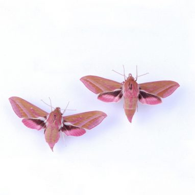 Two pink moths