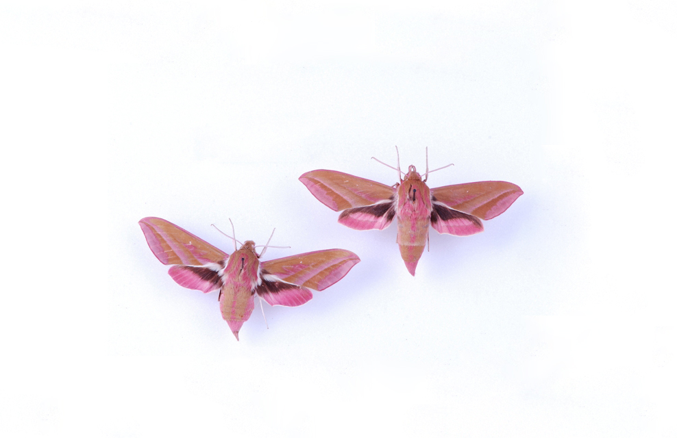 Two bright pink insects with wings, moths on a white background