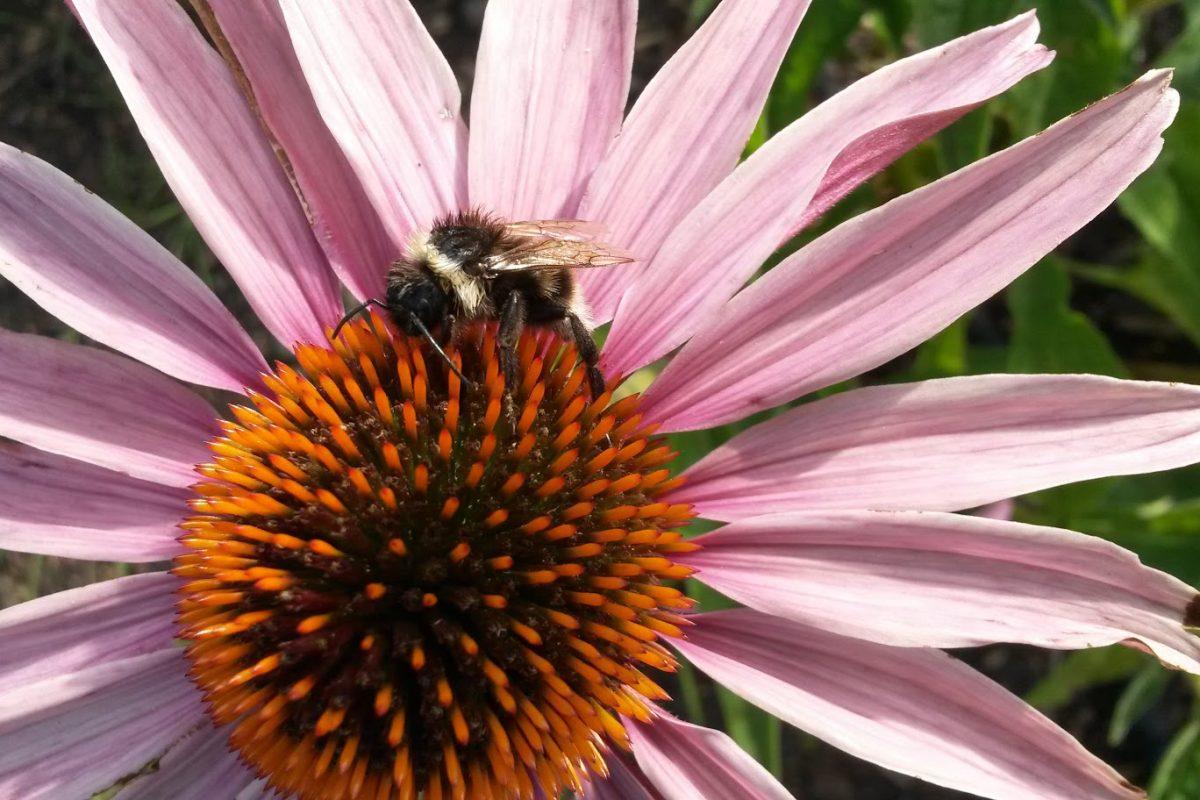 A bee on echinacae flower