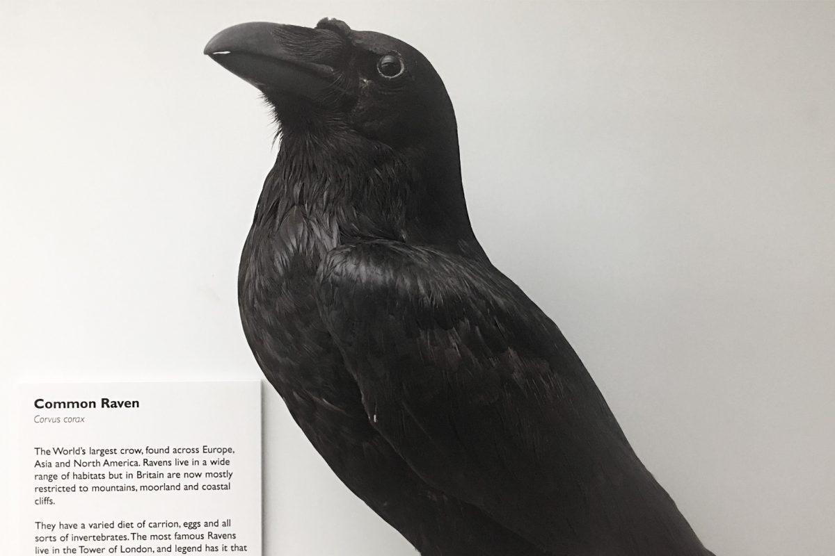 Taxidermy blackbird, raven, against white background