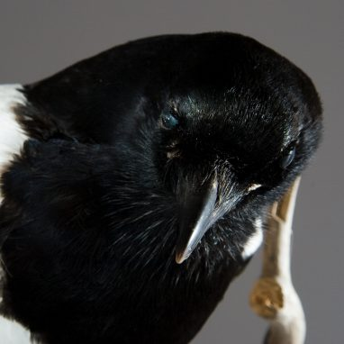 Taxidermy magpie next to branch.
