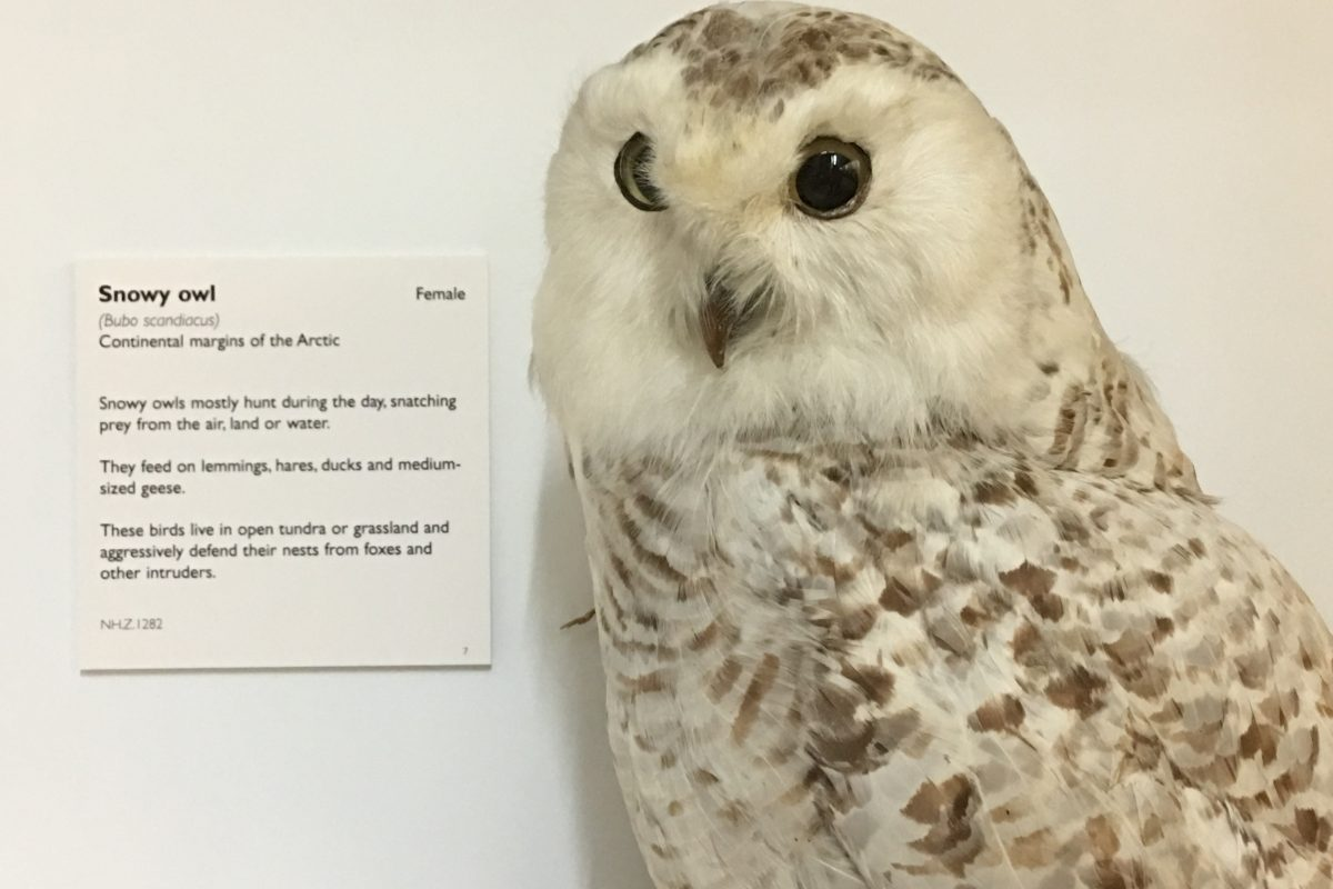 Taxidermy snowy owl against white background