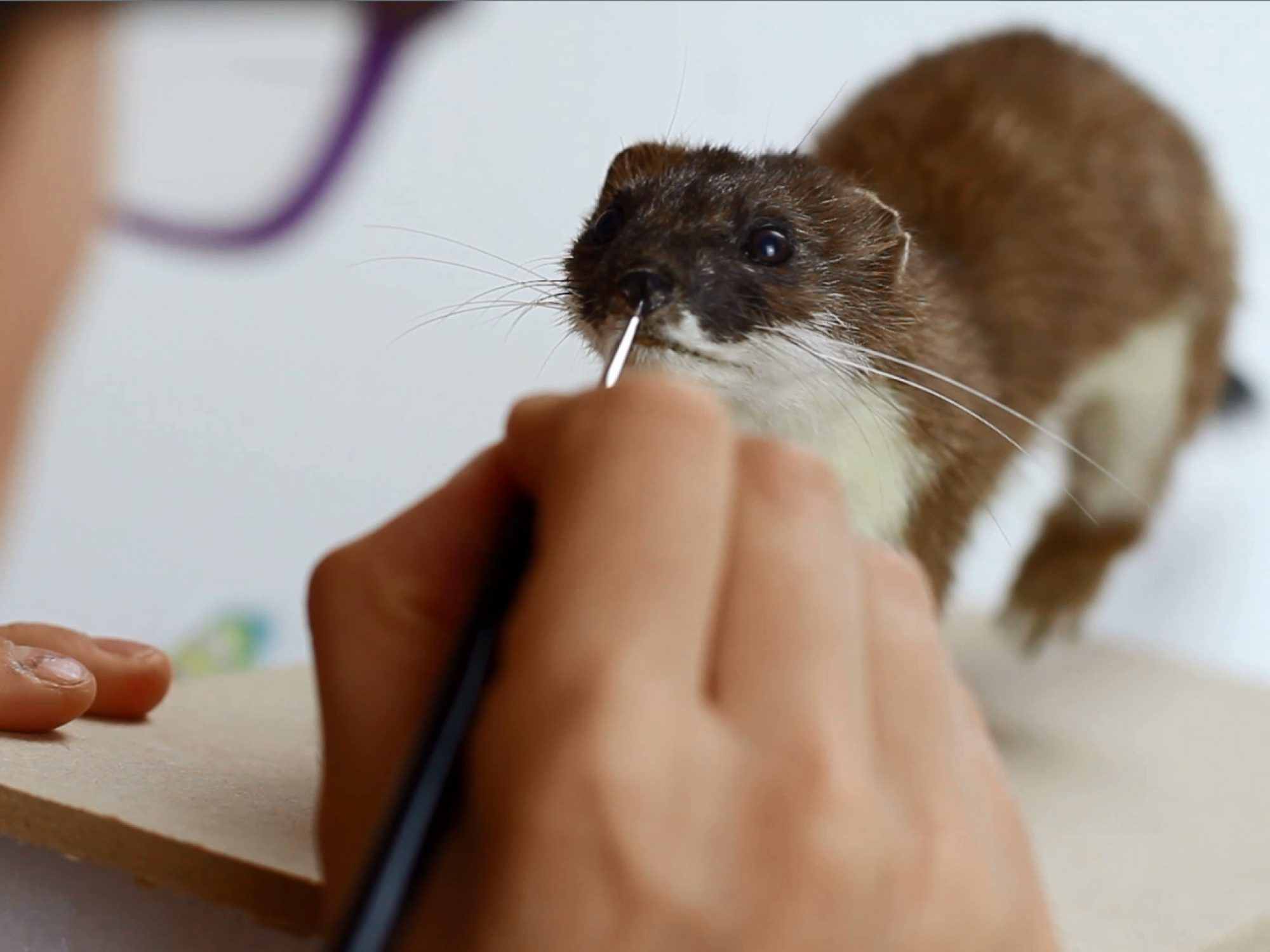 Woman painting taxidermy stoat's nose
